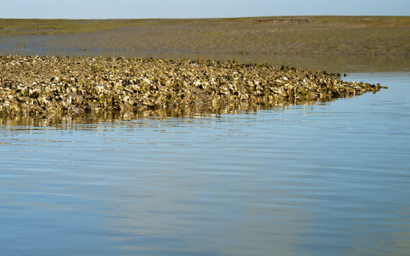 A photo of Olympia oyster bed on Gannon Slough